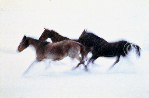 Photo of horses running in a snowstorm