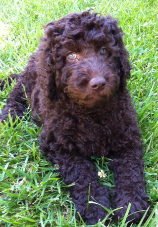 Labradoodle puppy &quot;Doodles&quot;