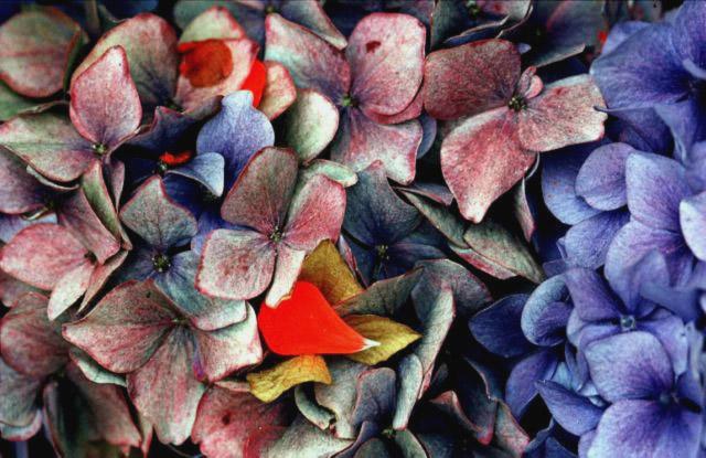 Photo of Ernst Haas Hydrangeas